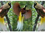 ilustrasi-burung-cenderawasih.jpg