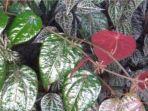 ilustrasi-daun-sirih-merah.jpg