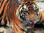 ilustrasi-harimau-1.jpg