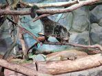 jakarta-aquarium-punya-binturong-unik-yakni-berbulu-cokelat-terang-kebule.jpg