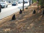 kawanan-monyet-di-kawasan-pik.jpg