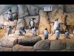menyaksikan-aksi-menggemaskan-penguin-humboldt-di-ocean-dream-samudra-ancol.jpg