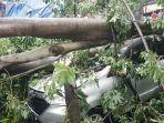 mobil-dedi-ringsek-dan-hancur-tertimpa-pohon-kapuk-besar.jpg