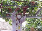 panen-anggur-di-kebun-permukiman-warga-rt-04rw-06-kelurahan-munjul-kecamatan-cipayung.jpg