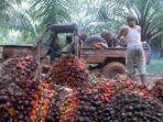 panen-tandan-buah-segar-kelapa-sawit.jpg