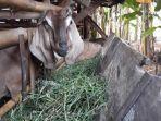 pencurian-kambing-milik-masar-70-dan-hasan-36.jpg