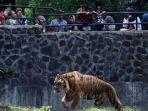 pengunjung-melihat-harimau-sumatera-di-kebun-binatang-bandung.jpg