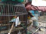 penjualan-love-bird-di-pasar-hewan-jatinegara-jakarta-timur.jpg