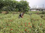 petani-bunga-pihong-1.jpg