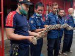 petugas-damkar-amankan-ular.jpg