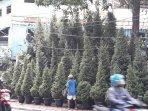 pohon-cemara-di-jalan-panjang.jpg