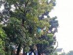 pohon-dipangkas-di-jakarta-selatan_20180716_141850.jpg