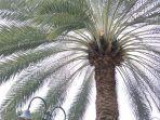 pohon-kurma-di-masjid-agung-al-barkah-bekasi.jpg