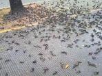 ratusan-burung-pipit-mati-mendadak-di-halaman-pemkot-cirebon.jpg