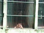 satwa-primata-berada-di-kandang-tmr-1762020.jpg