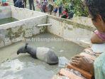 seekor-tapir-terjebak-di-dalam-kolam-ikan-warga-di-perumahan-cenderawasih-1.jpg