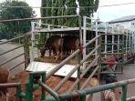sejumlah-sapi-yang-didatangkan-pd-dharma-jaya-dari-nusa-tenggara-timur-ntt.jpg