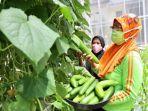 sistem-pertanian-perkotaan-berupa-green-house-yang-dikembangkan-kelompok-wanita-tani.jpg