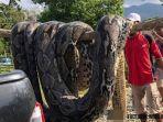ular-piton-di-sulawesi-tenggara_20180724_163352.jpg