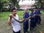 ular-piton-sepanjang-4-meter-di-markas-dinas-damkar-dan-penyelamatan-tangsel.jpg