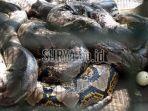ular-sanca-kembang-atau-piton_20180725_125553.jpg