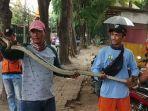 ular-sanca-kembang-ditemukan-ppsu-di-kali-nias.jpg