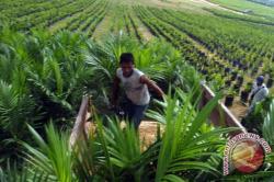 Petani Jambi Juga Beli, 708.277 Bibit Sawit Unggul PTPN V Diborong Ribuan Petani