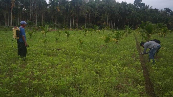 Kedelai Tak Berbuah Maksimal,Petani di Tanjabtim Keluhkan Dampak Kemarau