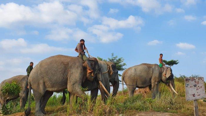 Gajah di Lanskap Bukit Tigapuluh Terdesak Pendatang, Butuh Peran Swasta Selamatkan Gajah Jambi