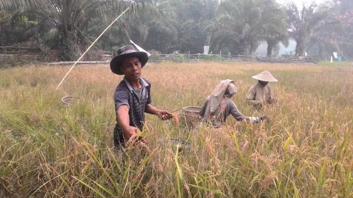 Kenaikan Produksi Padi Berbanding Lurus Dengan Kesejahteraan Petani? Sebuah Ulasan