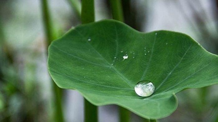 Ilustrasi daun talas atau lompong