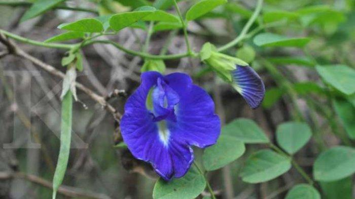 Bunga Telang