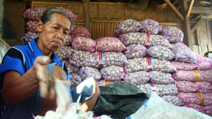 Bawang Putih Mahal, Pemprov Jambi Buat Program Bawang Putih 100 Hektare di Kerinci dan Merangin