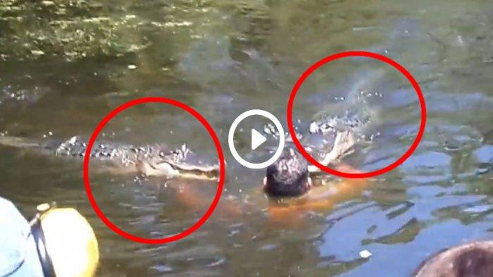 Mau Ambil Rakit di Sungai, Pinggang Petugas Listrik Diterkam Buaya, Lakukan Perlawanan dan Selamat