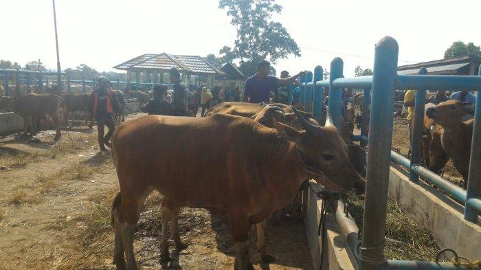 500 Ekor Sapi Terserang Virus Jembrana di Muarojambi, Empat Kecamatan ini  Paling Banyak