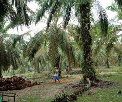 Naik Lagi, Berikut Harga Sawit di Provinsi Jambi Minggu Ini