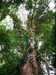 Satu Batang Pohon Langka Dijual Rp 5 Juta