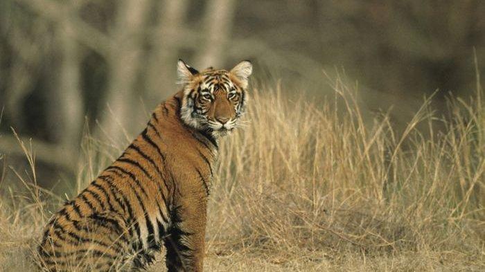 Asyik Minum Teh di Pondok, Warga Merangin Tewas Diterkam Harimau