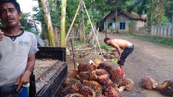Daftar Harga TBS Kelapa Sawit Periode 7-13 Februari 2020, Turun Lagi Rp 145,56 per Kg