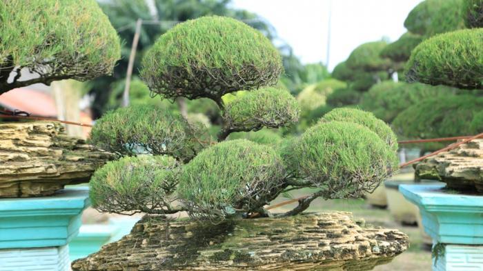 Inilah Empat Jenis Bonsai yang Langka di Kota Jambi