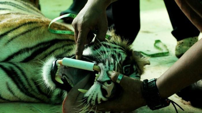 Berturut-turut, Singa dan Harimau Bunbin Taman Rimba Jambi Mati, Karena Paru-paru Basah dan Jantung