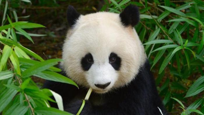 Menarik, Ini Jawaban Mengapa Kulit Panda Hitam dan Putih