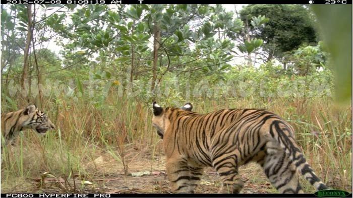 Harimau 'Jalan-jalan' di Desa Muara Emat, Sudah 5 Hari Berkeliaran