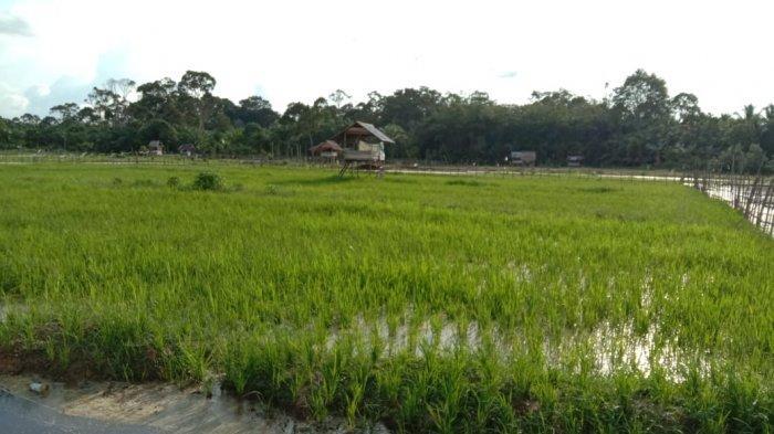 Pemkab Batanghari Realisasikan Bantuan Benih Padi di Kecamatan Maro Sebo Ulu Seluas 1.000 Hektare