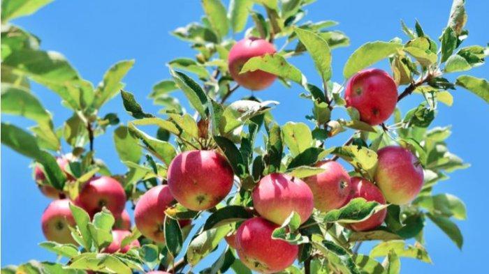Mana Lebih Sehat, Makan Apel Dikupas atau Sama Kulitnya?