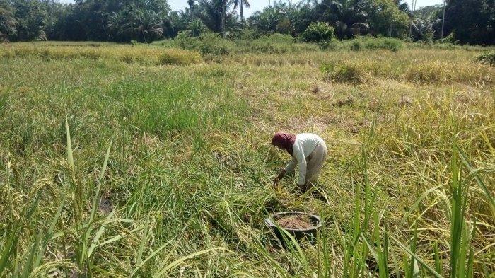 Lahan Pertanian di Jambi Berkurang 17 Hektar Per Hari, Berubah Jadi Kebun Sawit hingga PETI