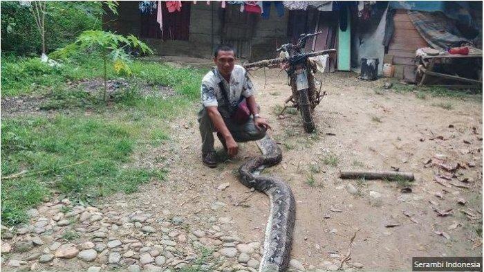JATUH BANGUN Mariyadi Duel Dengan Ular Piton Selama Satu Jam, Dikira Kecil Ternyata Panjang 4 Meter