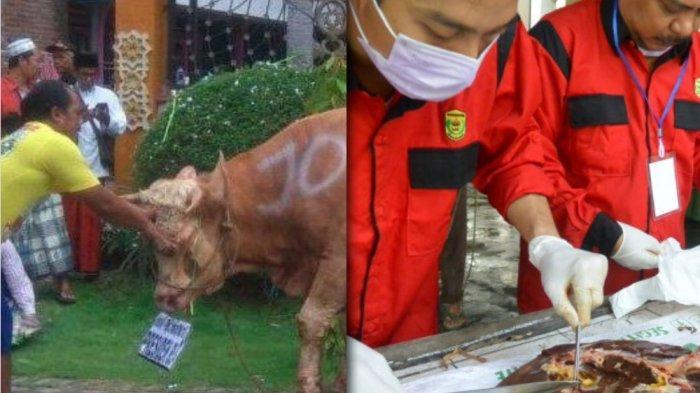 Kok Bisa! Sapi Pemberian Presiden Jokowi di Banjarmasin Terinfeksi Cacing Hati, Tak Bisa Dikonsumsi?