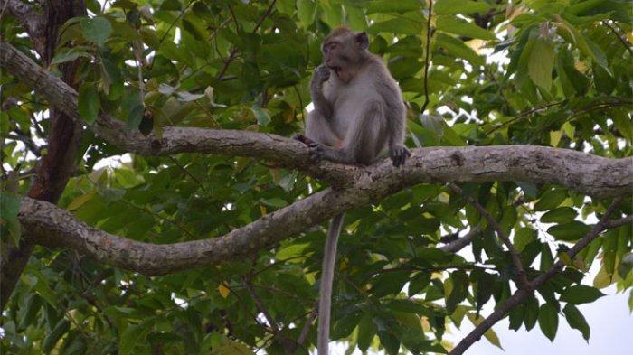 Suka Mabuk dan Agresif, Monyet Ini Akhirnya Dihukum Penjara Seumur Hidup karena Membunuh Satu Orang