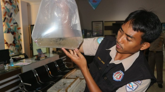 Perdagangan Gelap Baby Lobster jadi Target Besar